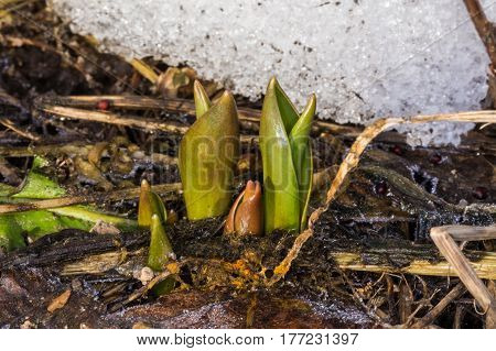 The first spring flowers and grass. First sprout rom. Photo made in march.