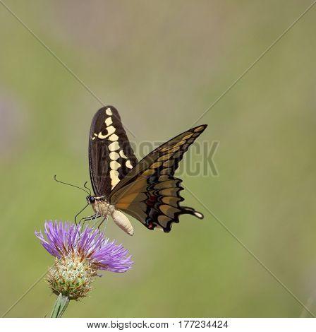 Western Giant Swallowtail (Papilio rumiko) nectaring on Thistle