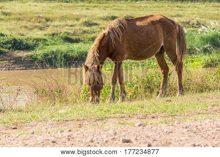 A brown horse eating grass beside swamp
