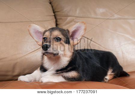 Pembroke Welsh Corgi portrait on beige sofa at home