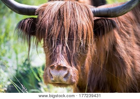 Scottish highland cattle in the mountains - A red-brown Scottish Highland cattle with large horns