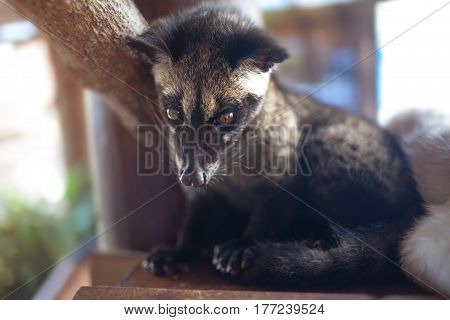 The animal used for the production of expensive most gourmet coffee Kopi Luwak