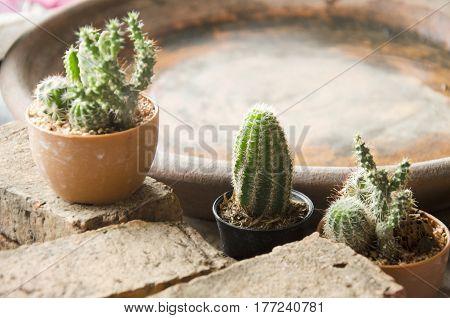 Mini Cactus In Pot For Decoration
