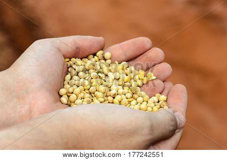 Mens Hand Holding Soya Grains