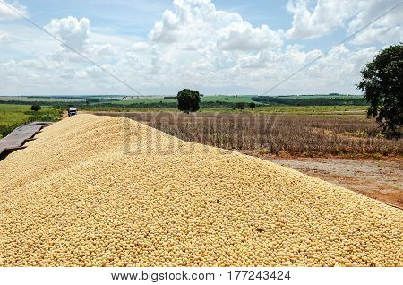 Trailer Of A Truck Fully Loaded With Soybeans.