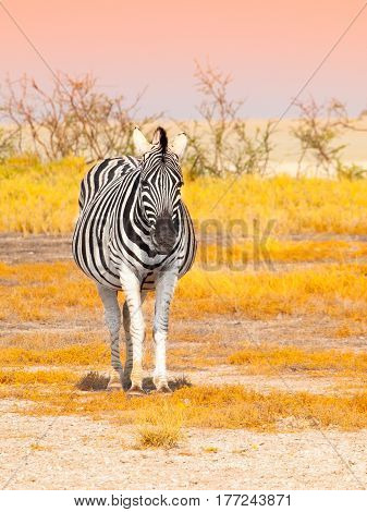 Front view of zebra in savanna. Etosha National Park, Namibia, Africa.