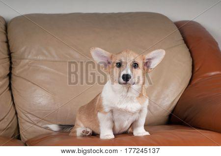 Pembroke Welsh Corgi puppy sitting portrait on beige sofa at home
