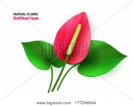 vector illustration of isolated realistic tropical blooming anthurium flower with leaves.