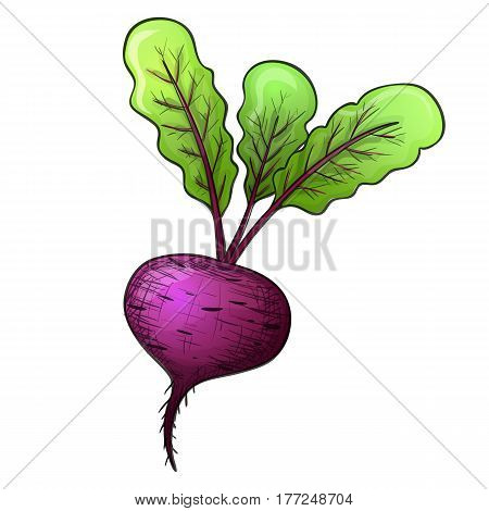 Colorful sketch style beet. Eco organic fresh vegetable. Vector.
