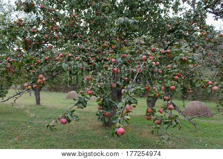Organic Red apples ready to pick on tree branches. Apple trees in autumn. Apple orchard