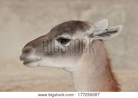 Closeup portrait of the llama seen from the side