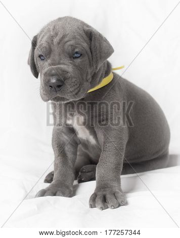Purebred Great Dane puppy with blue eyes and yellow collar on white