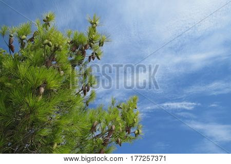 Sunny day in pinecone forest in Bar-city, Montenegro