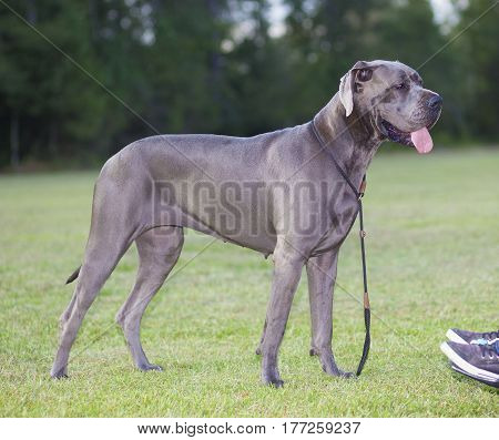 Purebred Great Dane next to its owner in a wheelchair
