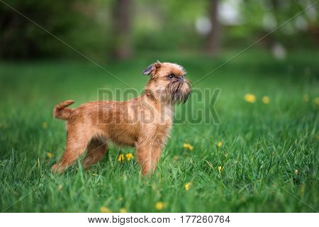 brussels griffon dog standing outdoors in summer