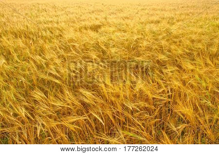 Field of golden ecologically grown barley waiting for the sun come up