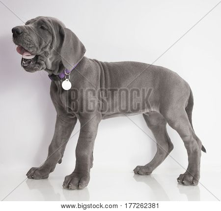 Purebred Great Dane puppy on white rolling its tongue