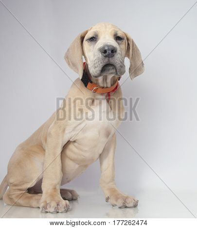 Tan colored purebred Great Dane puppy on a light background
