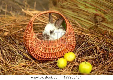 Cute Rabbit Sitting In Wicker Basket With Green Apples