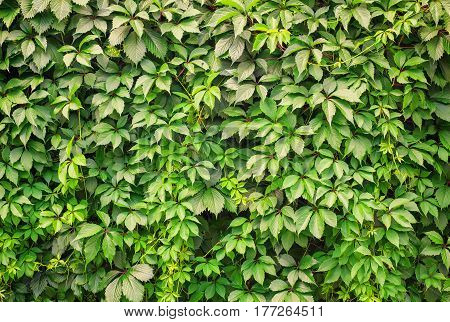 Nature background of green leafs wall. Girlish grapes
