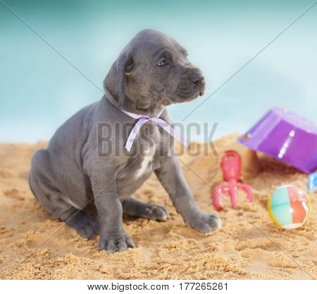 One month old purebred Great Dane puppy on sand