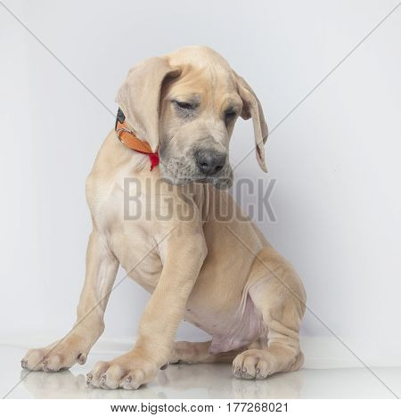 Young Great Dane purebred puppy on a white background