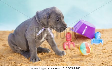 Great Dane purebred puppy on sand looking worriedly at something