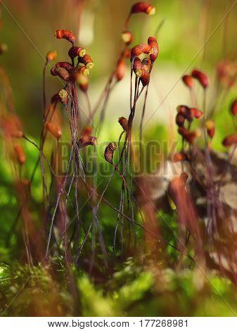 moss spores close up. Extreme close up shoot