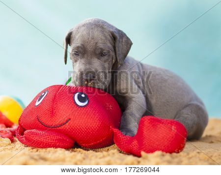 Grey purebred Great Dane puppy with a toy on the sand