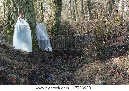Harvesting birch sap in a spring forest in sunny weather.