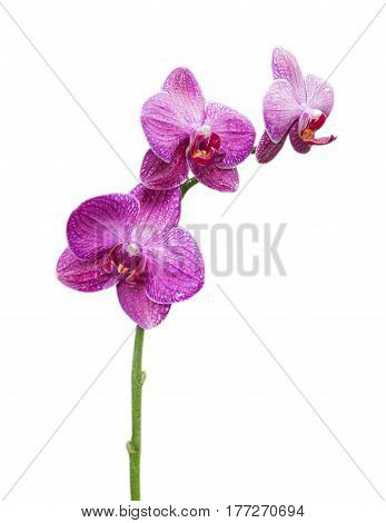 Closeup of Orchids flowers isolated on white