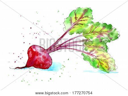 Garden beet. Image of a vegetables. Watercolor hand drawn illustration. White background.