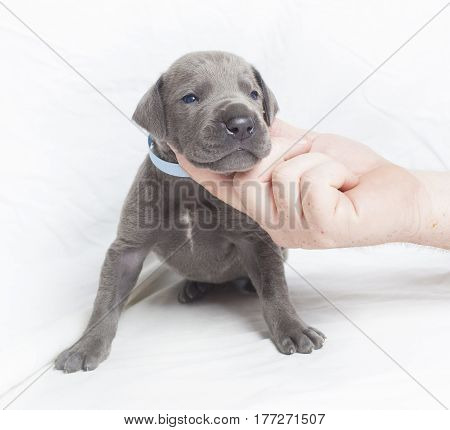 Very small Great Dane puppy purebred with a white background