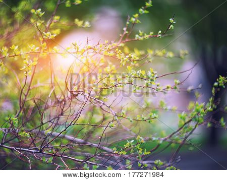 blurred spring background young branches with leaves and buds
