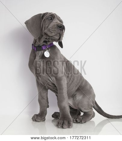 Gray Great Dane puppy sitting with a white background