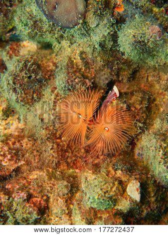 The surprising underwater world of the Bali basin, Island Bali, Lovina reef, tube worm