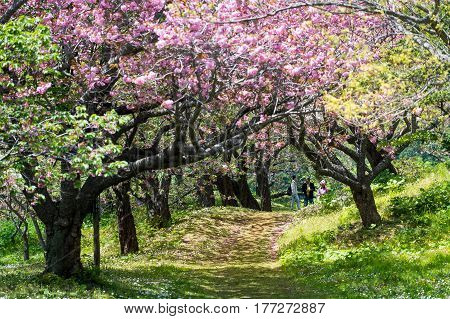 MATSUMAE HOKKAIDO JAPAN - MAY 7 2015 : Cherry blossom in Matsumae has an uncharacteristically long blooming season that lasts from late April to late May which attracts many tourist to come here.
