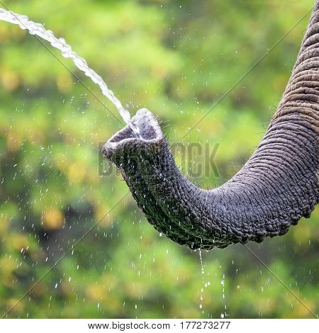 Detail of an African elephant taking a drink of water. Lush green foliage bokeh background.