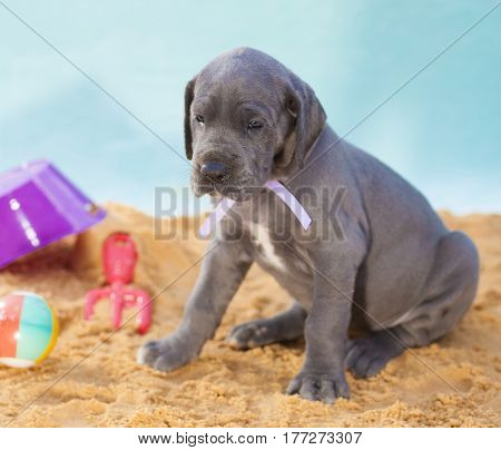 Great Dane puppy on the sand looking longingly at something