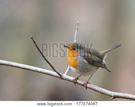 Robin on a branch with blurred background - Erithacus rubecula