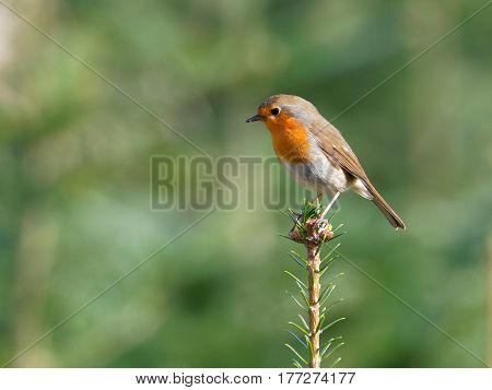 Robin in the top of the fir tree with blurred background - Erithacus rubecula