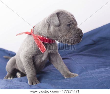 Purebred Gray Great Dane puppy looking at something lovingly