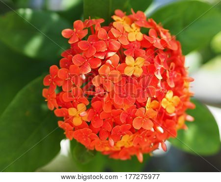 Red Ixora Coccinea Flower Blossom In The Garden