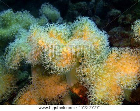 The surprising underwater world of the Bali basin, Island Bali, Lovina reef, soft coral