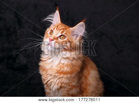 Cute Beautiful Red Solid Maine Coon Kitten Sitting With Beautiful Brushes On The Ears On Black Backg