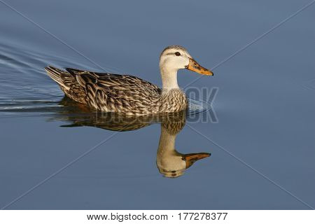 A Mottled Duck, anas fulvigula swimming in a calm lake in Florida with reflection