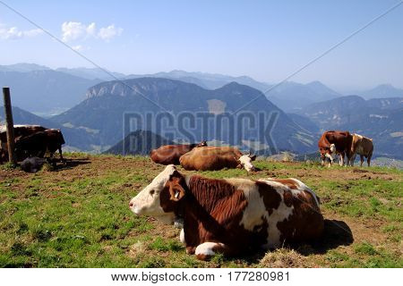 Cows on a mountain. Bathing in sunshine.