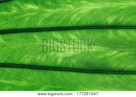 Green texture of organic leaf for backgrounds