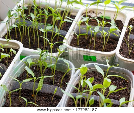 Small plants in plastic containers sprouting from seed