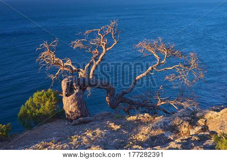 Example of survival in harsh conditions. The old crooked tree grows on the rock. View of the sea. Sunny evening